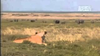 Lion vs Bull Eland encounter