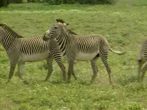 Haciendo el amor los animales doovi - Animales salvajes apareandose ...