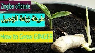 طريقة زراعة الزنجبيل  How to Grow GINGER