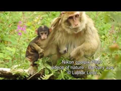 Nikon coolpix P900. videos of nature - Barbary ape