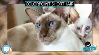 Colorpoint Shorthair  EVERYTHING CATS