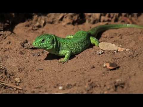 Угощение для зеленой ящерицы