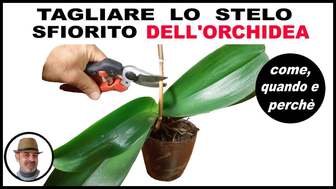 Download TAGLIARE LO STELO SFIORITO DELL'ORCHIDEA PHALAENOPSIS, come quando e perchè