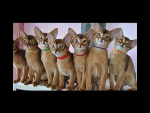 Abyssinian Cat Breed | Romantic Cat and Kittens Pictures