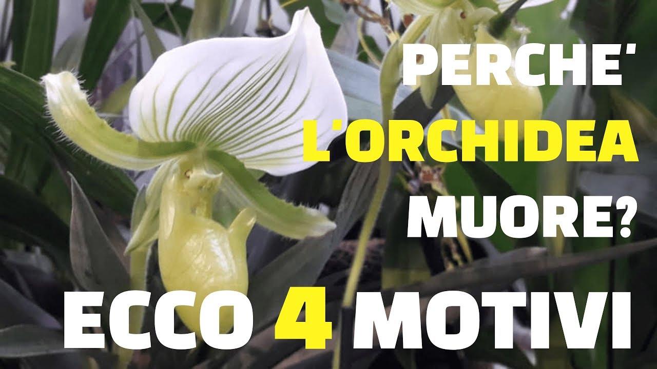 Download Perchè l'orchidea muore? Ecco 4 motivi