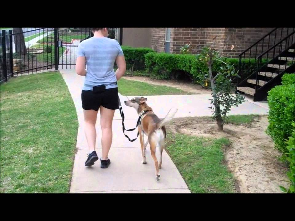 How To Teach Your Dog To Walk Off A Leash