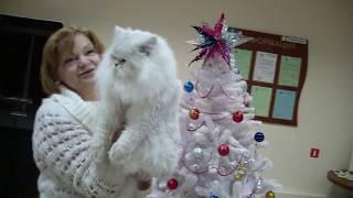 Питомник персидских шиншилл МИРАДА ДЕЛЬ МАР - презентация