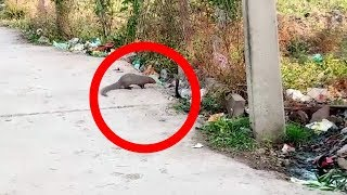 What happened when a mongoose encountered a cobra