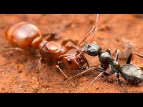The Role of The Queen in a Termite Colony