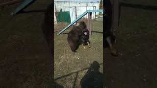 Медведь разрывает собаку