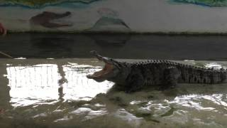 Крокодил шоу на о. Самуи Тайланд.