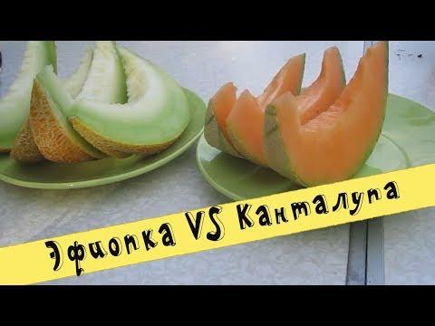 ✔Дегустация дынь   Сравниваем Эфиопку и Канталупу   Какая вкуснее?