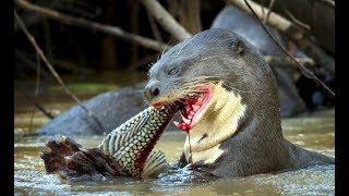 Best Jaguar Attacks Caymans - Animals attack - Giant otters attack snake