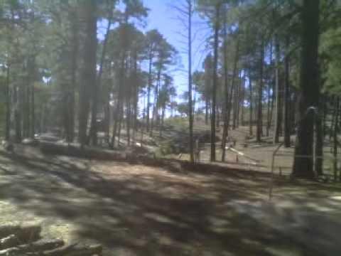 Marc cuts downa big pine tree