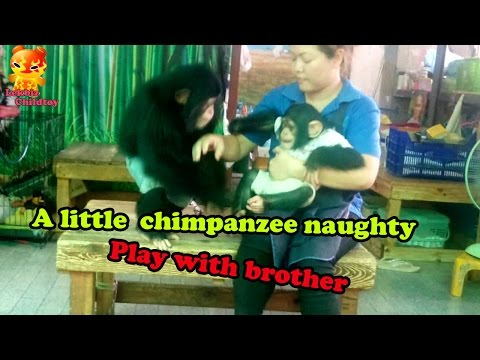 A Little Chimpanzee Naughty Play With Brother @Samutprakarn Zoo