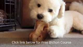 How to House Train a Bichon Frise Puppy