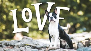 10 Things Boston Terriers ABSOLUTELY LOVE!!!