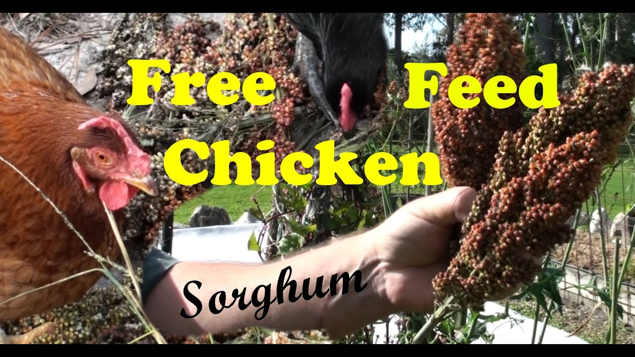 growing sorghum for free backyard chicken feed youtube