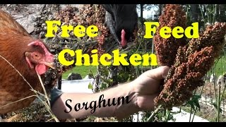 Growing Sorghum for FREE Backyard Chicken Feed