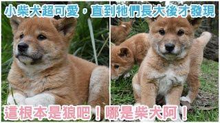 根據外媒petfilm的報導,你知道世界上有一種小時候長的很像柴犬,但長大...