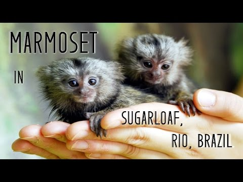 Marmoset In Sugarloaf Mountain - Rio, Brazil