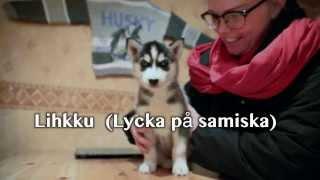 Siberian Husky 6 Weeks Old, Name Lihkku (licko)  2 Jan 2014