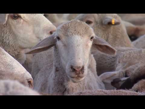 Montana Ag Network: Sheep experiment station's important rol