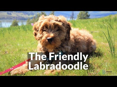 The Friendly Labradoodle