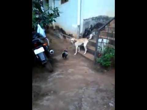 Cock beating dog