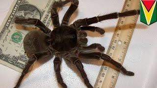 L'araignée Goliath, ou mygale de Leblond, est aussi grosse qu'un chiot!