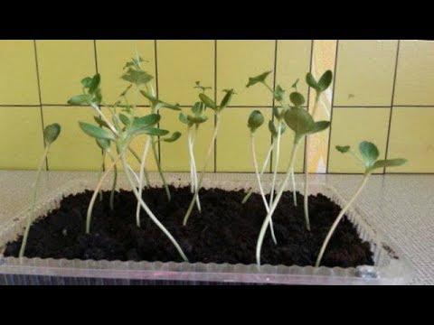Вытянулась рассада...Что делать??   вытягивается   вытянулась   рассада   помидор   огурцов   выращив   огород   делать   что