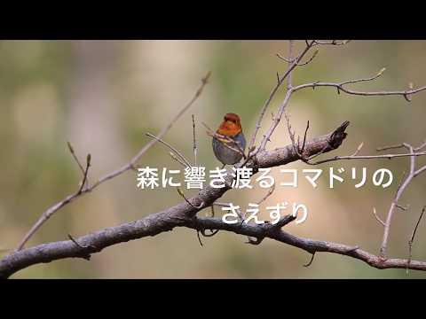 コマドリの美しいさえずり、動画です。