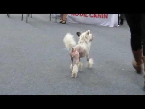Caramel (BOB puppy Helsinki Winner 2016)