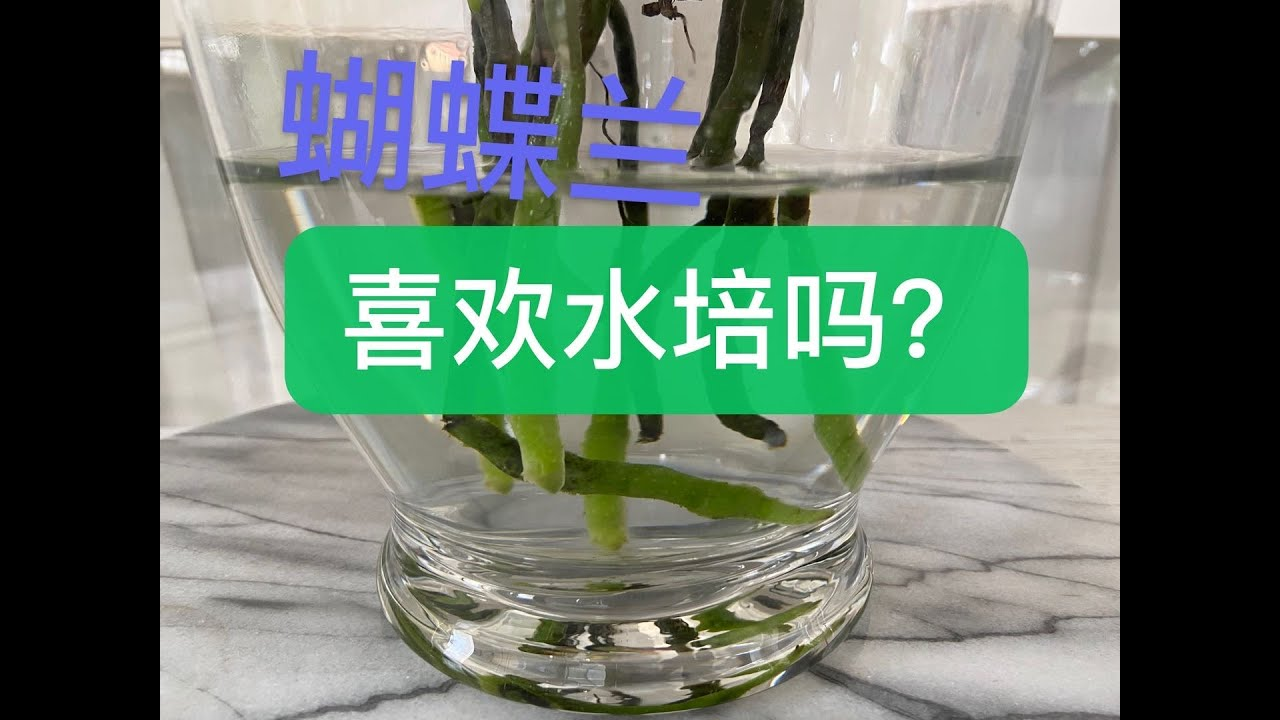 靜姐說花219: 蝴蝶蘭真的喜歡水培嗎? - YouTube