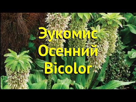 Эукомис осенний Биколор. Краткий обзор, описание характеристик eucomis autumnalis Bicolor