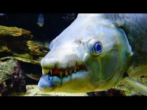 The Top 10 Most Dangerous Aquarium Fish (GIANT FANGS, POISONOUS MUCUS, ELECTRIC SHOCK, AND MORE)