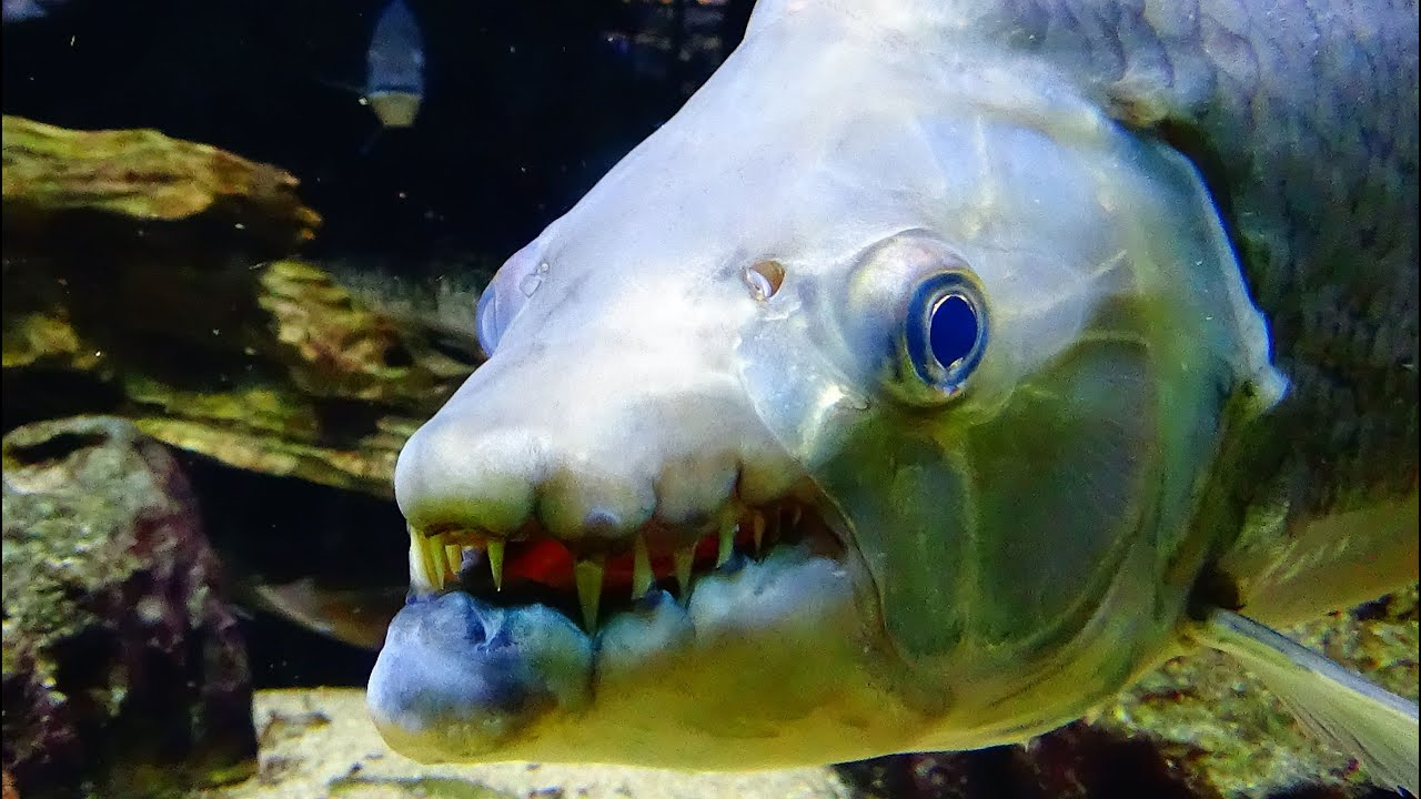 The top 10 most dangerous aquarium fish giant fangs for Best aquarium fish