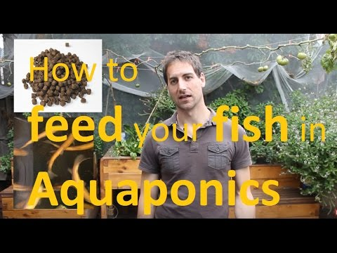 How to feed your fish in Aquaponics!