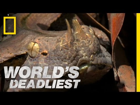 Six-Foot Snake Ambushes Prey | World's Deadliest