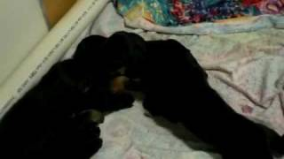 Resue Puppies - All Adopted-2/09 - Black And Tan Coonhound Labrador Retriever Mix