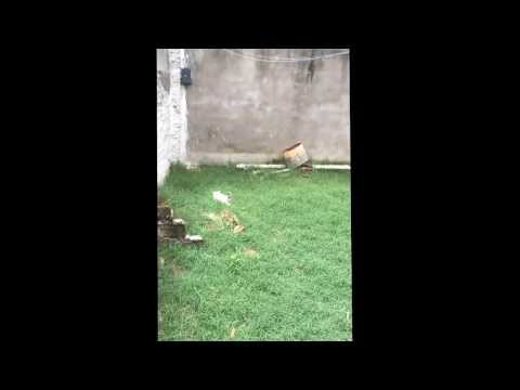 American pitbull terrier a la venta