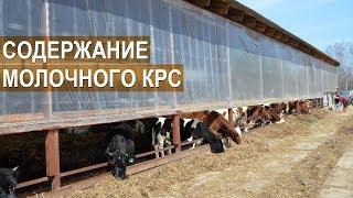 Содержание молочного КРС. Айрширская порода. Семейная ферма КФХ Герефорд