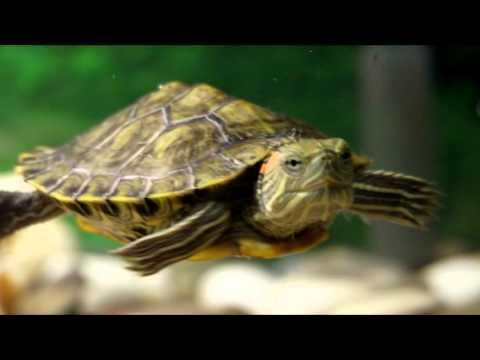 Как содержать черепашек для маленького аквариума