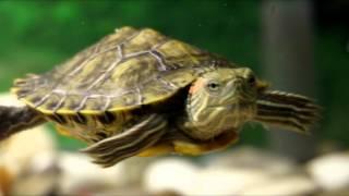 Захотели завести красноухую черепашку? Смотрите это видео!/Wanted to have a turtle?