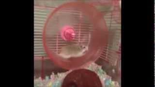 倉鼠跑滾輪竟把自己甩出去