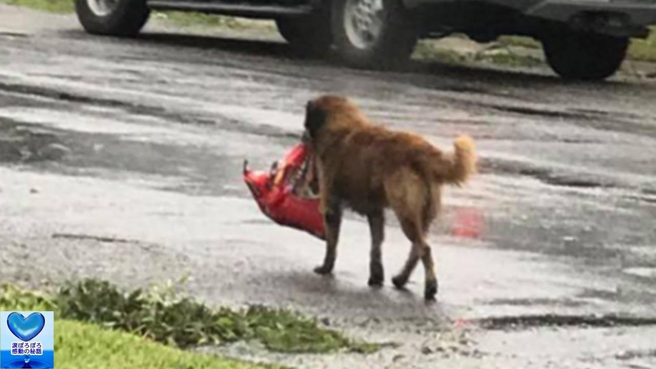 ハリケーン被害にあった町でドッグフードの袋を運ぶ一匹の犬【感動】