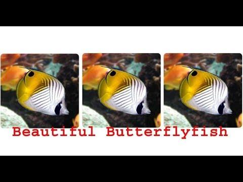 Beautiful Saltwater Butterflyfish
