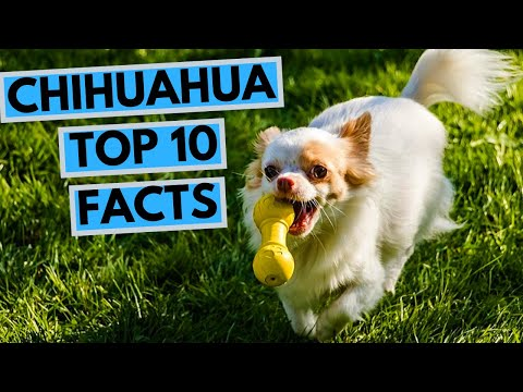 chihuahua---top-10-interesting-facts