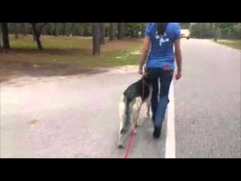 German Shepherd: Lexi Pulling on Leash, Distracted ~Wilmington Dog Trainers