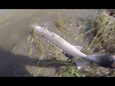 Shore Fishing For Sturgeon - Fraser River.